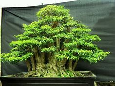Balsa, Little Bonsai trees are hard to prune, but you can do it...I ordered them one year and I tried, buy no go.....