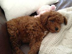 Brando - Kristin Cavallari's puppy