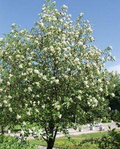 Sorbus intermedia ruotsinpihlaja