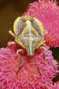 Pretty Pentatomid Shield Bug by itchydogimages, via Flickr