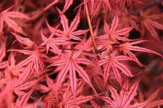 Acer palmatum 'Olsen's Frosted Strawberry'  http://www.coniferkingdom.com/Olsen_s_Frosted_Strawberry_Japanese_Maple_p/acer_p_olsens_frosted_strawb.htm