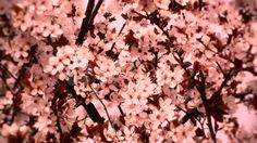 Video: Springtime Tree in Blossoms 05 spring stylized ~ Stock Video, Spring Time, Stock Footage, Blossoms, Flowers, Florals