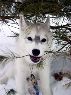 ♥ Curious Siberian Husky puppy