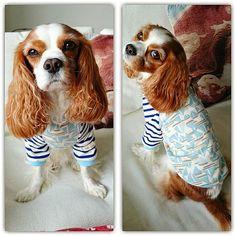 テリーはれんちゃんサイズ❗  ヨット柄にボーダーの袖が可愛い~⚓ 最低気温明日には0℃か~💦 テリー地方はラグランの季節です。 #キャバリア #キャバリアキングチャールズスパニエル #ブレンハイム #テリー #アールプラスアール #ハンドメイド犬服 #ラグラン