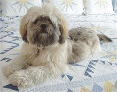 I will always have a Lhasa Apso for as long as I live.. Best dogs ever!! <3 my Bosley-bear