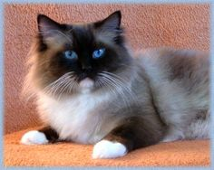 Seal Mitted Ragdoll Seal-mitted