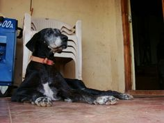 Champa... The beautiful great dane who once ruled our farm