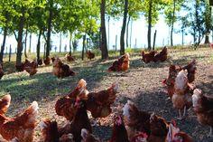 Le nostre #galline libere di #razzolare all'aperto!