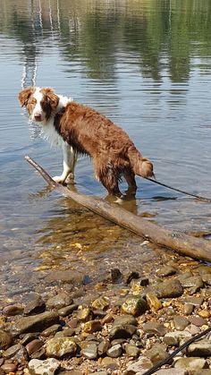 Australiën shepherd ; Daisy