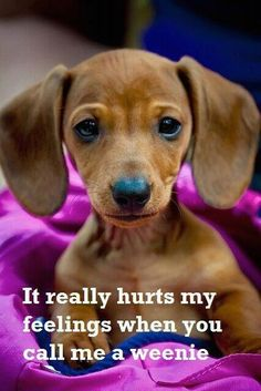 """pinner said: Always hated it when the neighbor children called my baby doxies """"weiners!"""" Can laugh about it now, but those dogs were FAMILY to me! Look at that face!!!!!"""