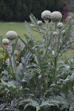 The fabulous flower buds of the Globe Artichoke. Learn how to grow your own on the blog!