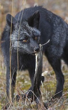 The elusive Black Fox. Beautiful animals!