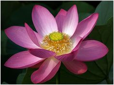 The Lotus symbolizes purity, beauty, majesty, grace, fertility, wealth, richness, knowledge and serenity.