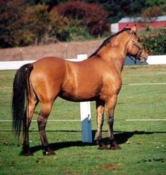 """The Kiger Mustang is an """"established breed"""", that is, breeding true for generations to a certain type. Many of today's existing Kiger Mustangs can be traced back to a single stallion named """"Mesteño"""", whose name means """"stray"""" or """"feral"""" in Spanish (see etymology at Mustang).   Kiger Mustangs are primarily dun in color and have primitive markings, including zebra-like stripes on the upper legs and shoulders as well as a dorsal stripe running down the middle of the back into the tail."""