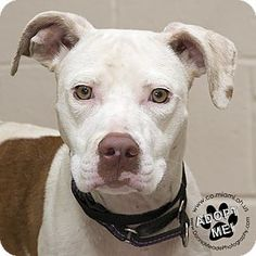 Pictures of Lacy a Pit Bull Terrier Mix for adoption in Troy, OH who needs a loving home.