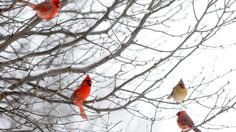 Cardinals rest on the branches of a tree as snow falls during the storm in Evansville, Ind., on Friday, Jan. 22, 2016