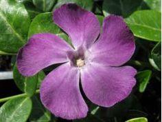 """Vinca minor """" Atropurpurea """" - barvínek, brčál Zahradnictví Krulichovi - zahradnictví, květinářství, trvalky, skalničky, bylinky a koření"""