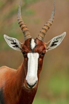 This handsome creature is called the Bontebok (Damaliscus pygargus pygarus), one of the rarest antelopes in Southern Africa. There are two subspecies and both are considered extinct in the wild due to overhunting. Interesting Animals, Unusual Animals, Rare Animals, Animals Beautiful, Animals And Pets, Wild Animals, Strange Animals, Dumb Animals, Cutest Animals