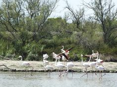 Flight of flamingos in Camargue, France stock photo 76761983 - iStock