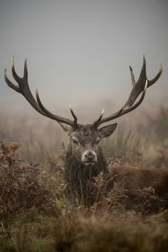 beautiful-wildlife:  The King of Richmond Park by Jan Mewald