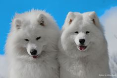 Chesney & Shana - Samoyeds.  My dog Luke!! Loved him