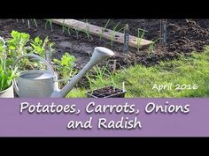 Katie's Allotment - April 2016 - Potatoes, Carrots, Onions and Radish