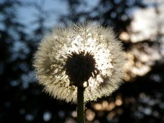 when the sun goes down My Point Of View, Dandelion, Sun, Flowers, Plants, Dandelions, Flora, Plant, Royal Icing Flowers
