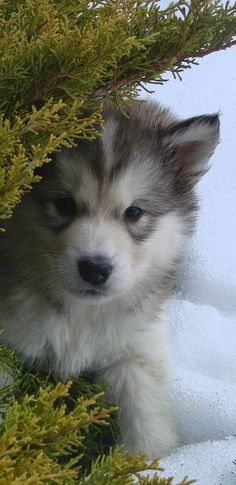 5 Dogs That Looks Like Wolves This looks like me Shadow when he was a puppy