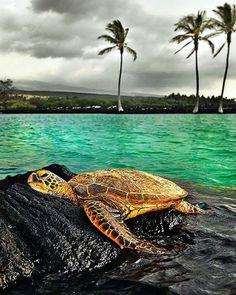 The Galapagos Tortoise Fact Sheet Cute Turtles, Baby Turtles, Sea Turtles, Sky Sunset, Animals Beautiful, Cute Animals, Turtle Time, Tortoise Turtle, Underwater Life