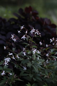 Gillenia trifoliata (Bowman's root). One of our most beloved perennials. A simple plant with dark stems and white star-like flowers.