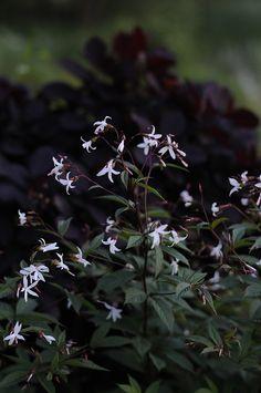 Trebladsspira 'Gillennia trifoliata' trivs på de flesta jordar. Stjälkarna är röda och är en fin kontrast mot andra rödbladiga växter. Blommar i juli-augusti och blir 40-80 cm hög.  Är härdig i hela landet i skyddat väldränerat läge. Sol-halvskugga.