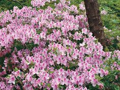 Azaleas Made Simple   SouthernLiving
