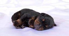 Doberman Puppies - 42 Pictures