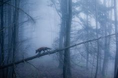 He travels the moonlit bridge from sky to forest floor. Dawn Of The Planet, Foggy Forest, Creatures, Birds, Animals, Bald Eagle, Foxes, Animales, Misty Forest