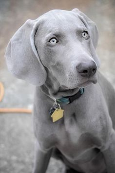 Weimaraner…I am in love with this breed! Weimaraner … Ich bin verliebt in diese Rasse! Cute Puppies, Cute Dogs, Dogs And Puppies, Doggies, Beautiful Dogs, Animals Beautiful, Amazing Dogs, Weimaraner Puppies, Doberman Dogs
