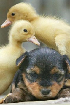 ~ Cute Puppy and Little Baby Duckies
