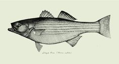 """'Striped bass.' Commissioned work for Street & Co. Restaurant. Pen & Ink on latex coated paper w/handmade frame. 32""""X13"""". 2005. #bass"""