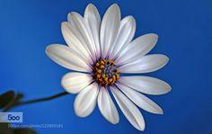 WHITE DAISY by uvarovairina2011 #nature