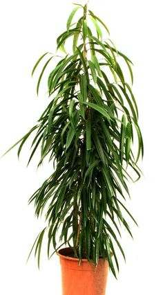 The Top 10 Air-Purifying Plants for Your Home: Ficus Alii