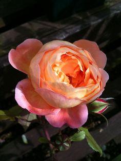 'Lady Emma Hamilton '| David Austin English Rose. Austin, 2005. | Flickr - © hellimli