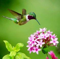 Amethyst Woodstar via Bird's Eye View at www.Facebook.com/aBirdsEyeViewForYou