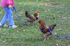 How to Socialize and Train a Backyard pet  Chicken @Caitlin King can we please buy leashes for your chickens!?!?!?!?!
