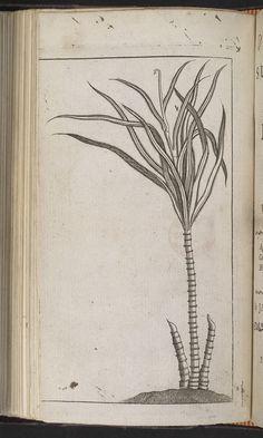 sugarcane illustration - Pesquisa Google