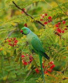 Rose-ringed parakeet by divdude007(Haren), via Flickr
