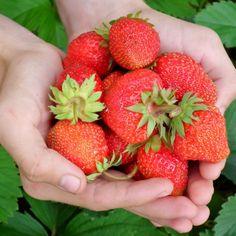 All About Growing Strawberries