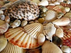 sea shells | Chez Paul Shutters His Doors and Heads to Distant Shores