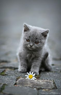 Grey kitten with daisy. photo © Marina Zinovieva