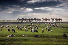 a horse herd wanders through a flock of grazing sheep in mongolia - stunning