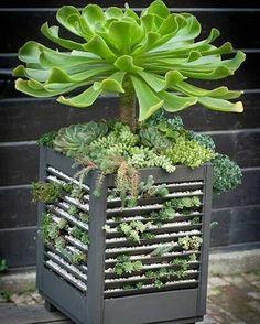 "1,782 Likes, 22 Comments - Mr.Arrey (@ari.cactusucculents) on Instagram: ""Succulents #succulents #succulent #succulentsph #succulentsunday #echeveria #echeverialover #garden…"""