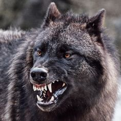 (1) Tumblr Wolf Images, Wolf Photos, Wolf Pictures, Wolf Spirit, Spirit Animal, Beautiful Creatures, Animals Beautiful, Wolf Hybrid, Angry Wolf